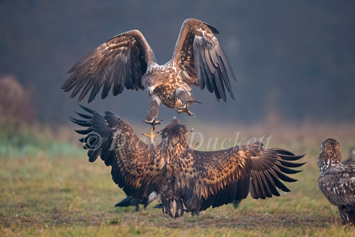 _H2P5331 Eagle attacking.jpg