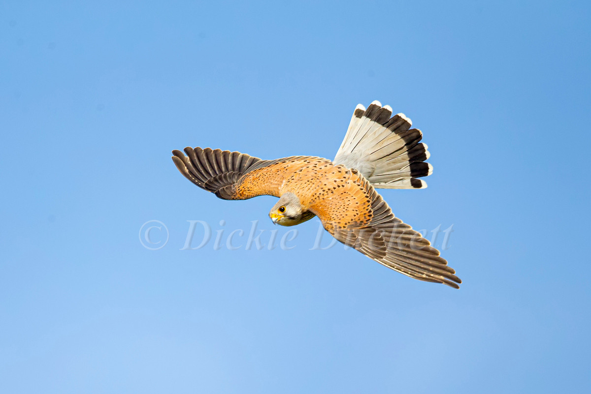 _H2P3397 Kestrel diving top view.jpg