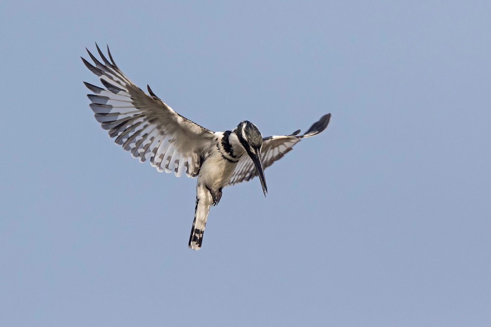 _A5A4480 Pied Kingfisher hovering.jpg