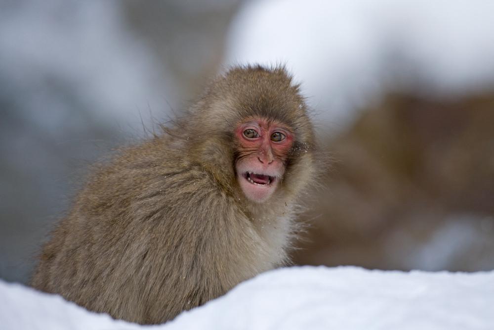 _X0A9480 Monkey smiling