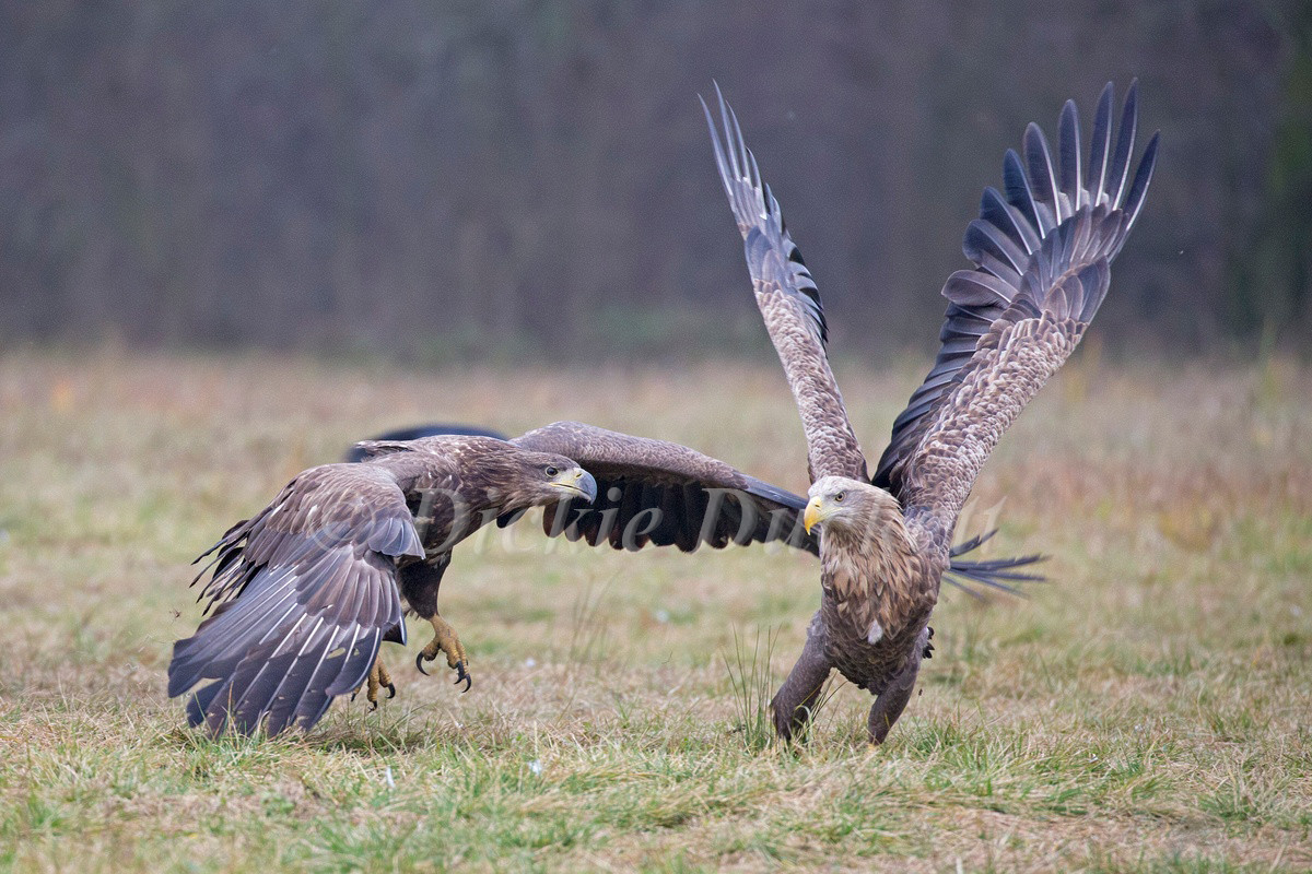 _H2P2035 Eagle attack.jpg
