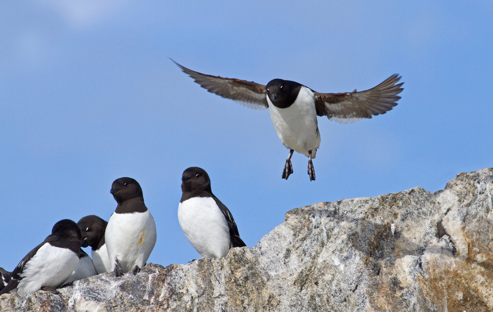 08 Little Auk.jpg