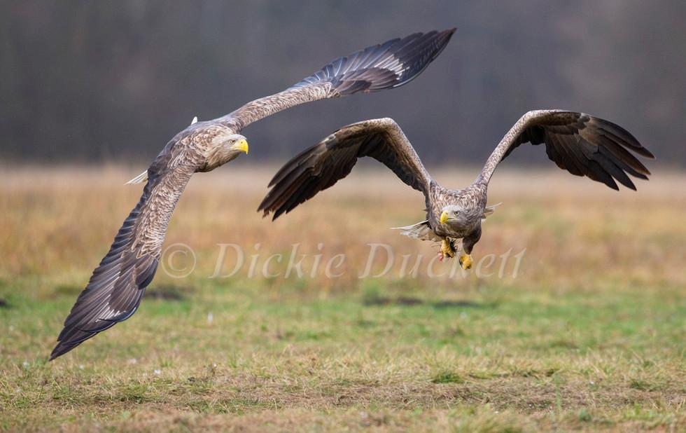 _H2P7816 Adult Eagles chasing.jpg