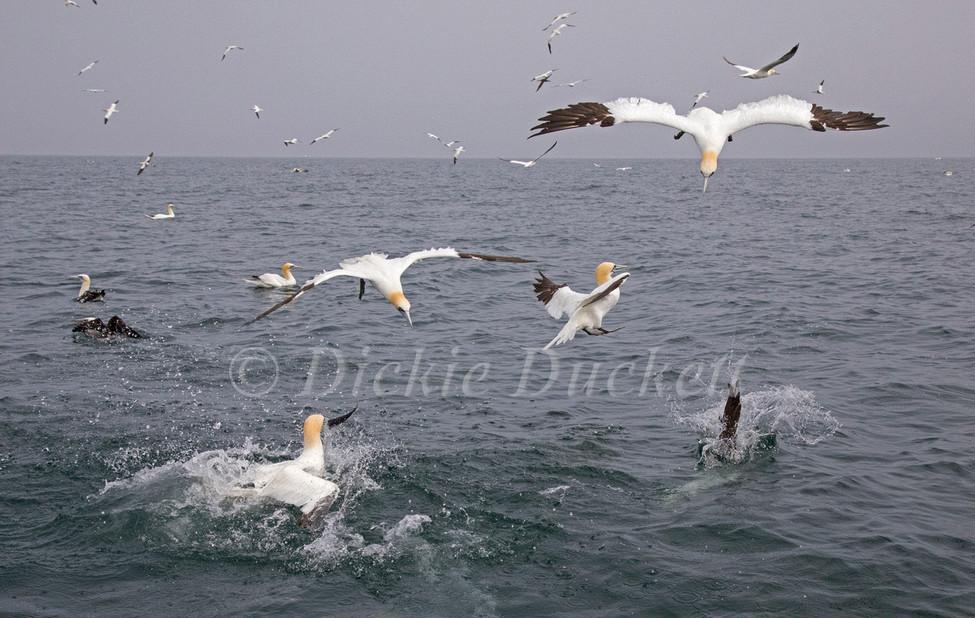 _I8A6579 Gannets fishing.jpg