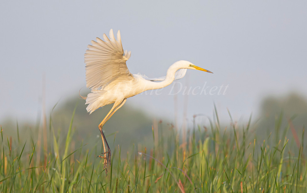 _H2P0630 GW Egret landing in reeds.jpg
