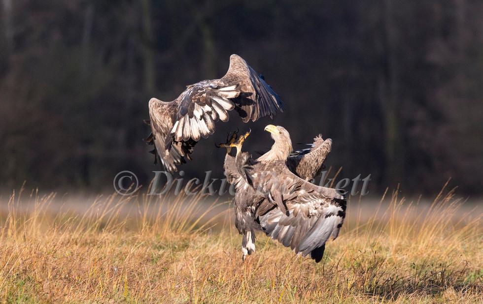 _H2P0026 Eagles fighting.jpg