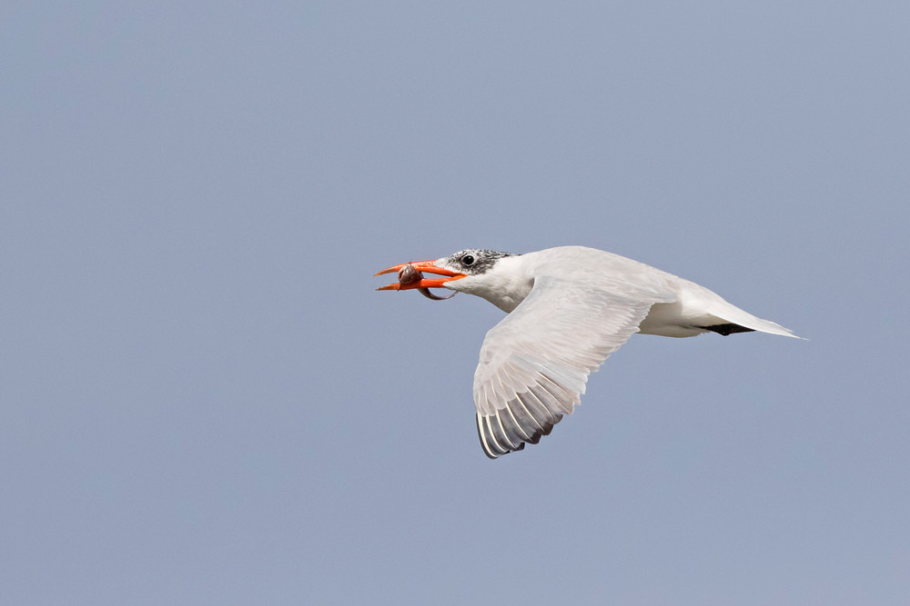 _A5A7080 Caspian Tern with fish.jpg