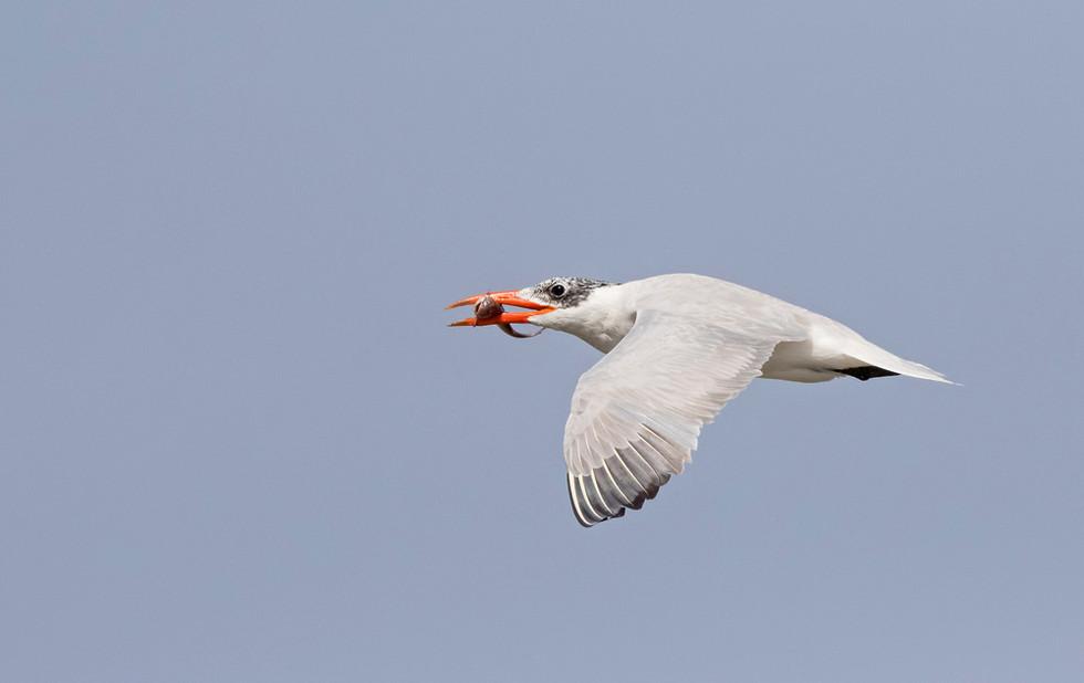 _A5A7080 Caspian Tern with fish.jpg