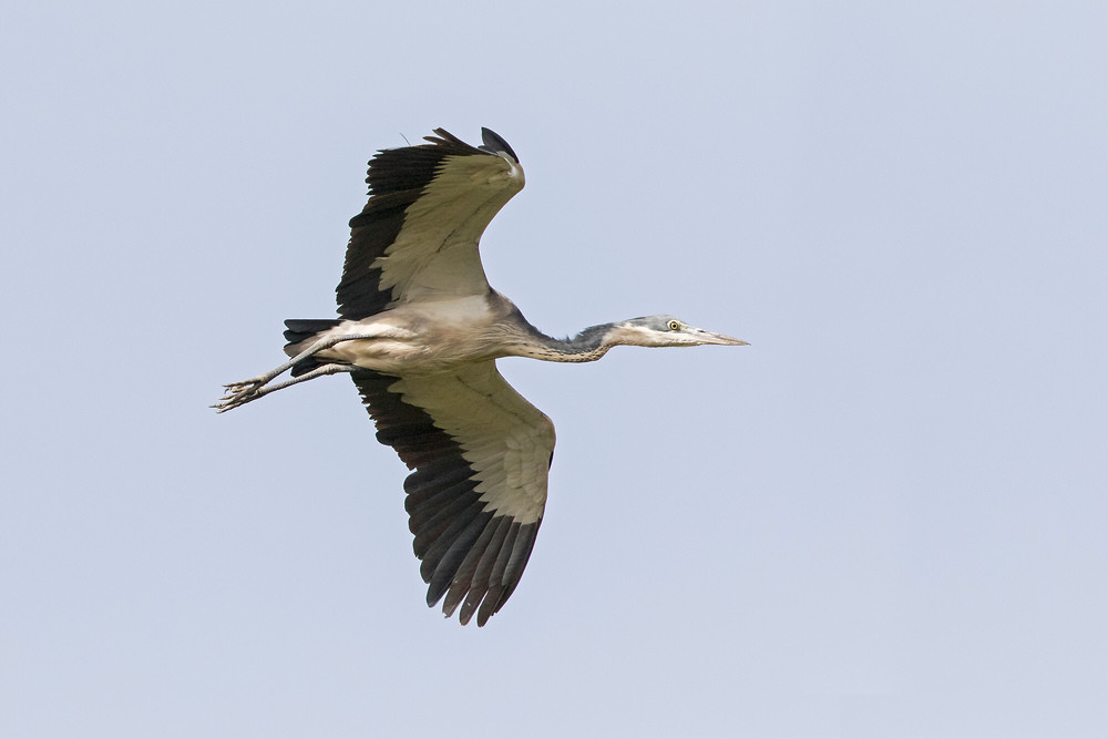 _A5A3616 Black-headed Heron.jpg