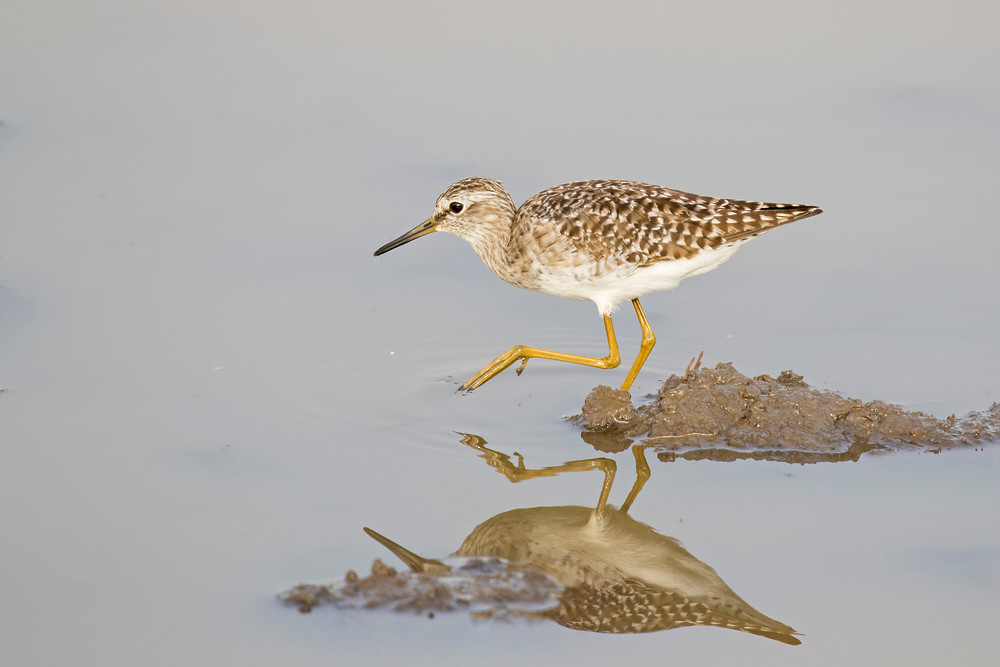 _A5A1244 Wood Sandpiper in Rice field.j