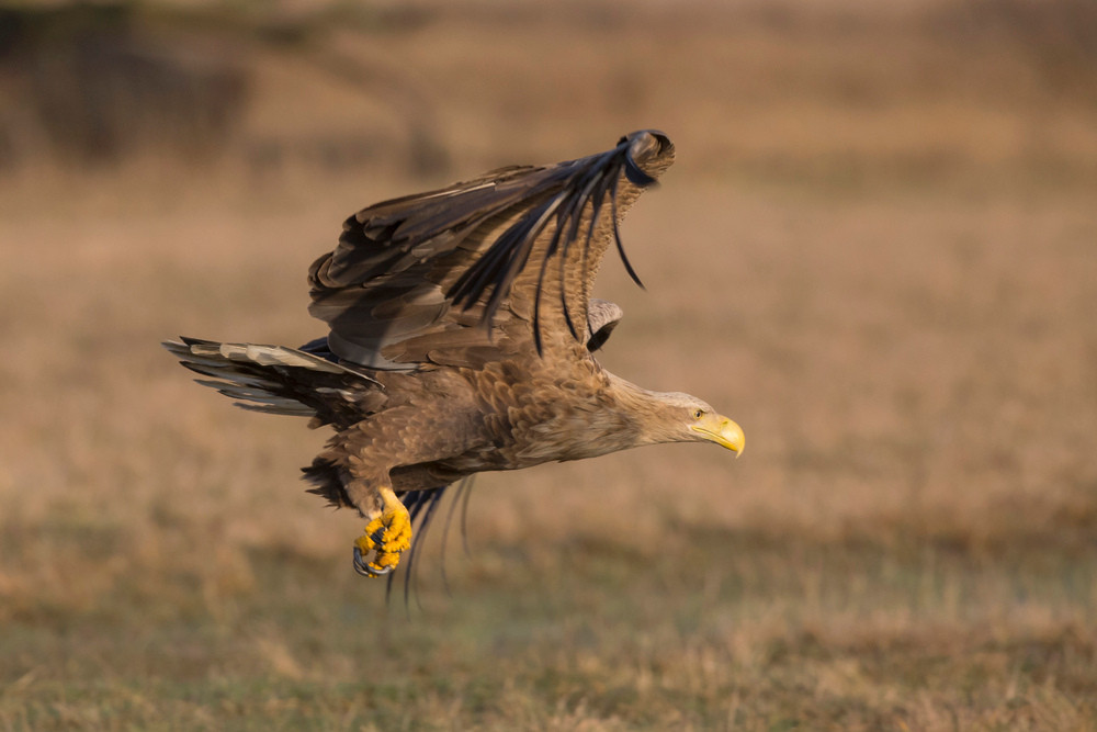_H2P3423 White-tailed Eagle.jpg
