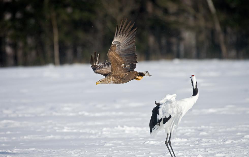 _X0A0944 Eagle diving past Crane