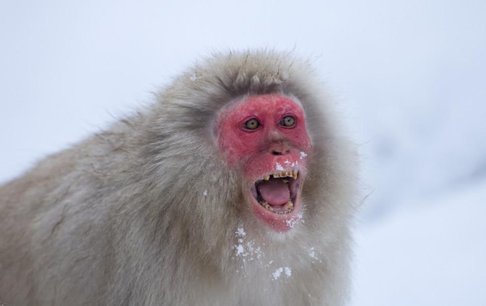 _X0A9745 Monkey screaming