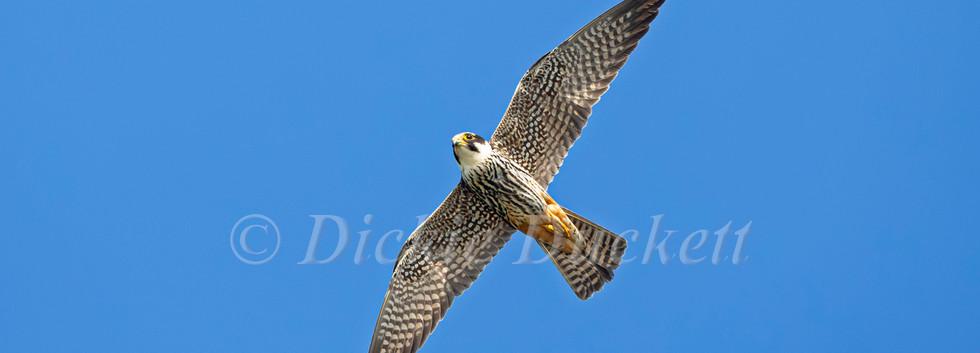 _H2P2898 Hobby in flt belly up wings spr