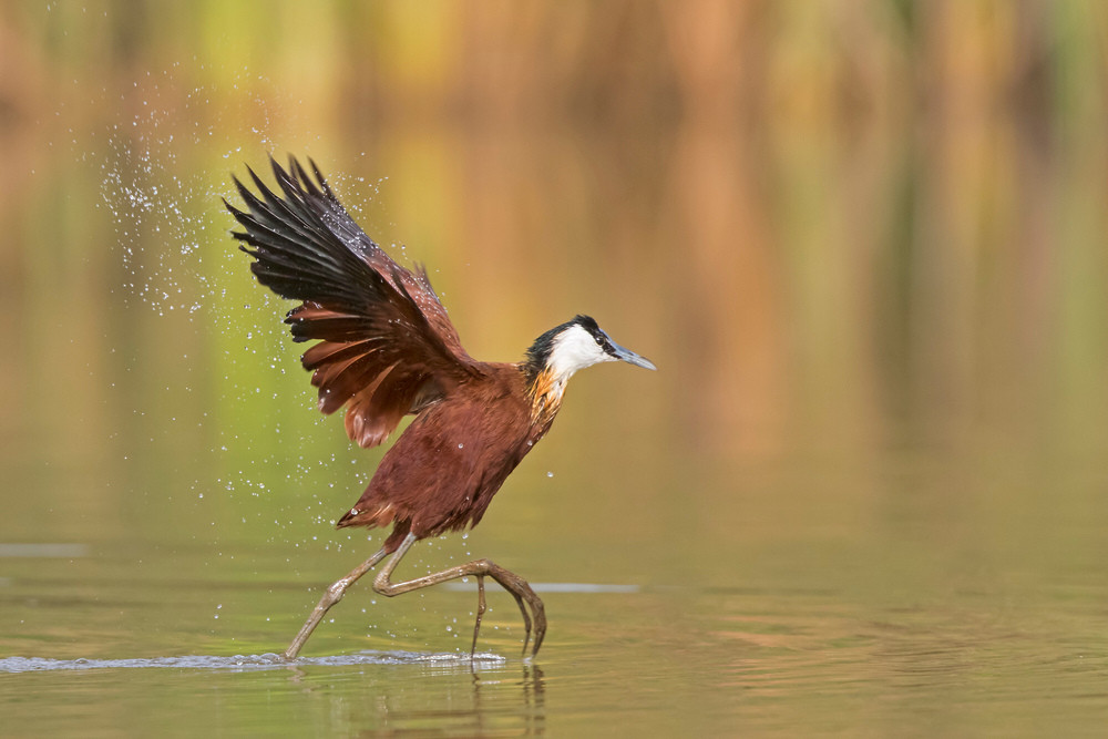 _A5A3778 Jacana drying wings.jpg
