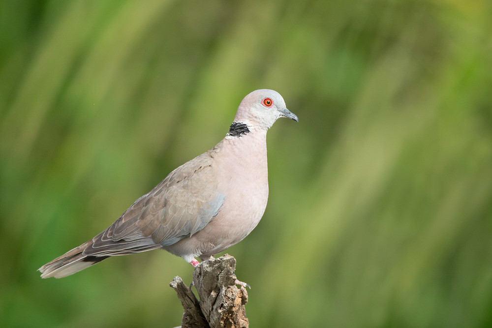 _H2P0086 Red-eyed Dove.jpg