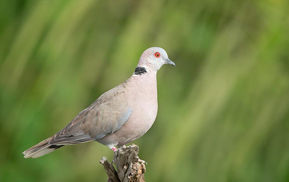 _H2P0086 Red-eyed Dove.jpg