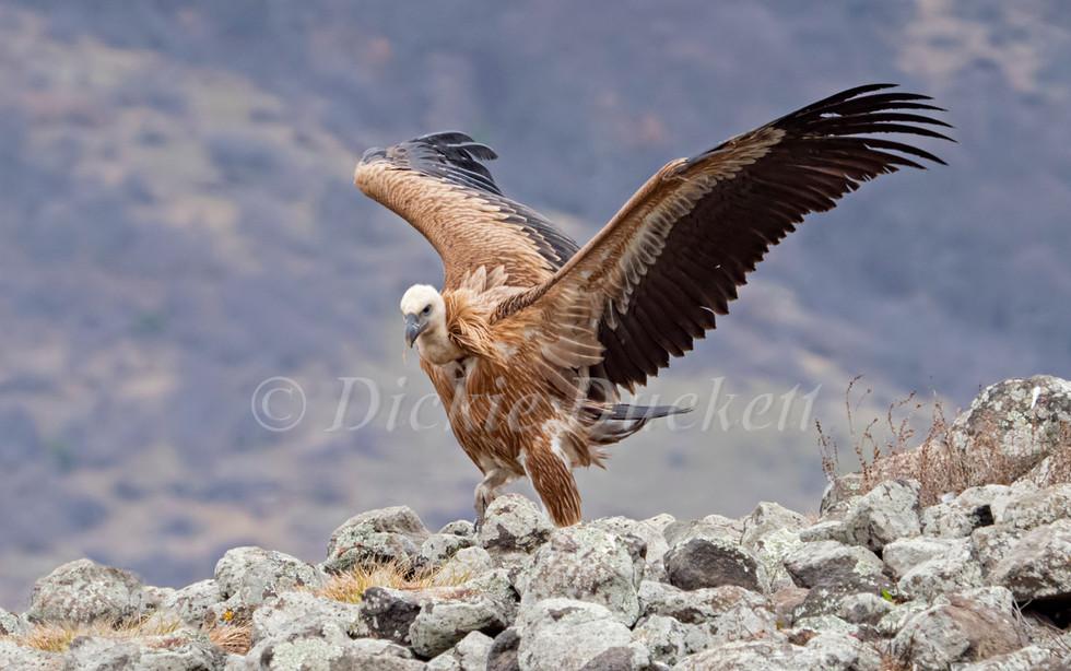 _2038630 griffon landing on rocks (big c