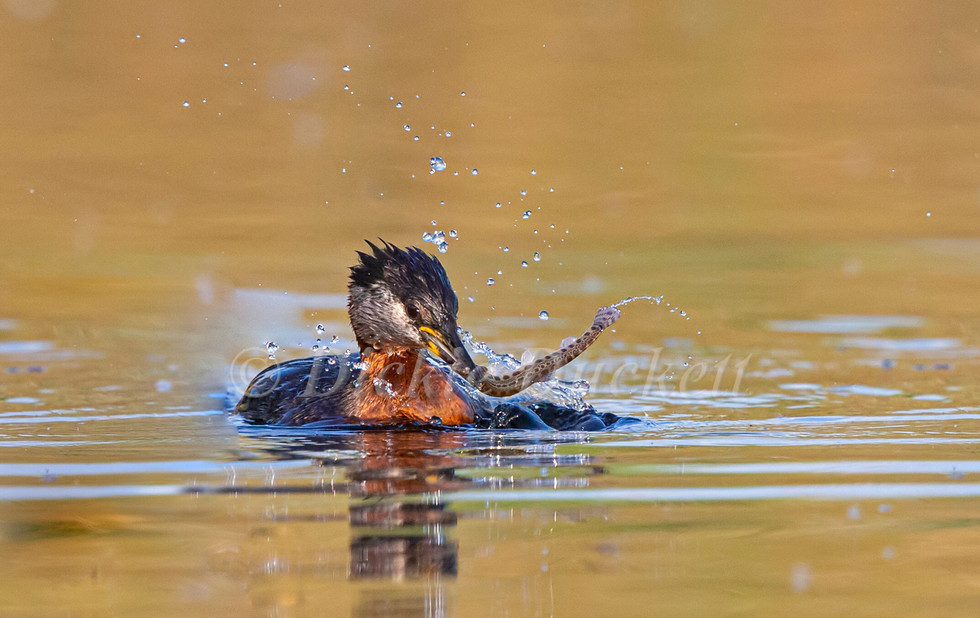 _H2P2275 Red-necked Grebe subduing Fish.jpg