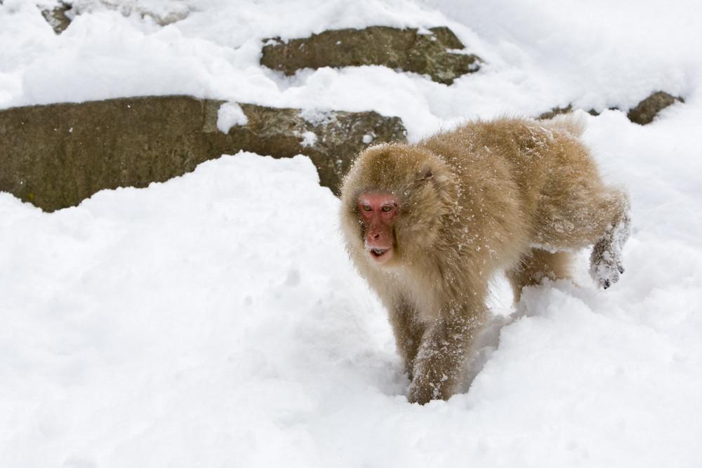 _93C9844 Monkey screeching