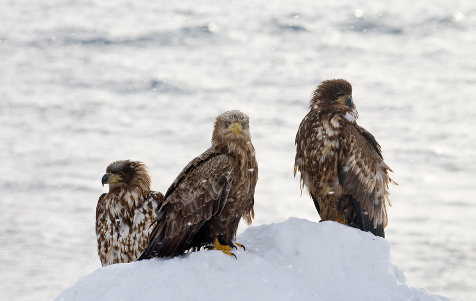 _X0A4380 Immature Eagles