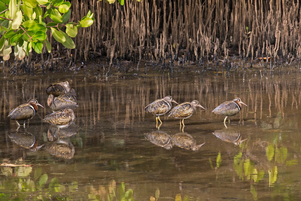 _H2P0915 Painted Snipe in Mangrove.j