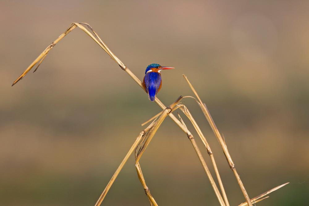 _H2P0685 Malachite Kingfisher.jpg