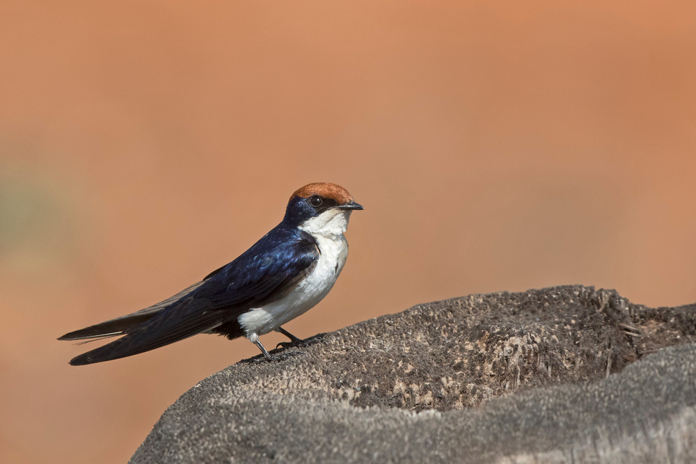 _A5A5666 Wire-tailed Swallow.jpg