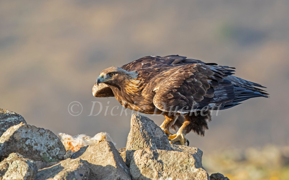 _I8A4163 Eagle about to take off.jpg