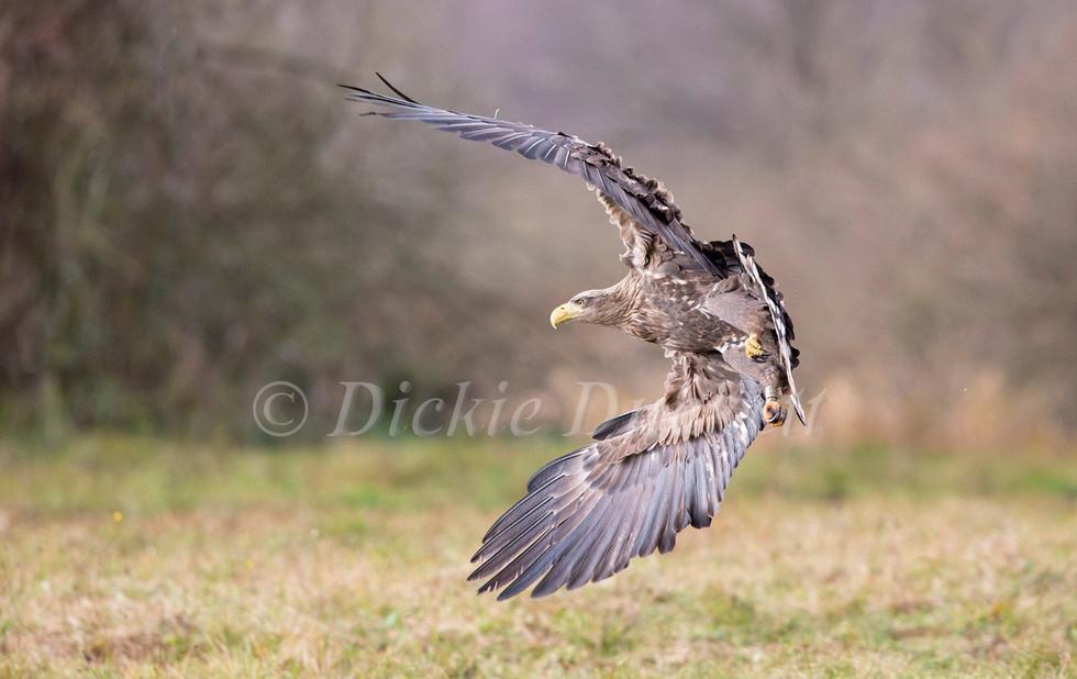 _H2P1245 Eagle banked.jpg