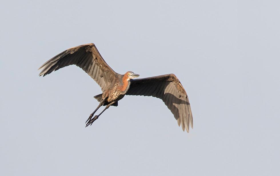 _A5A7581 Goliath Heron.jpg