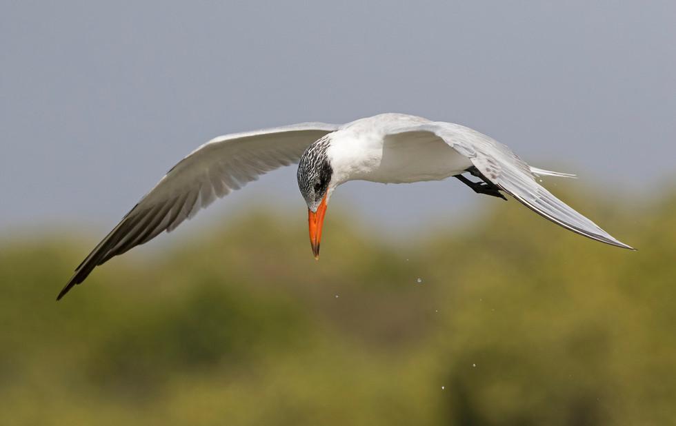 _A5A7182 Caspian Tern hovering.jpg