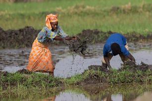 _A5A1356 Rice Field workers.jpg