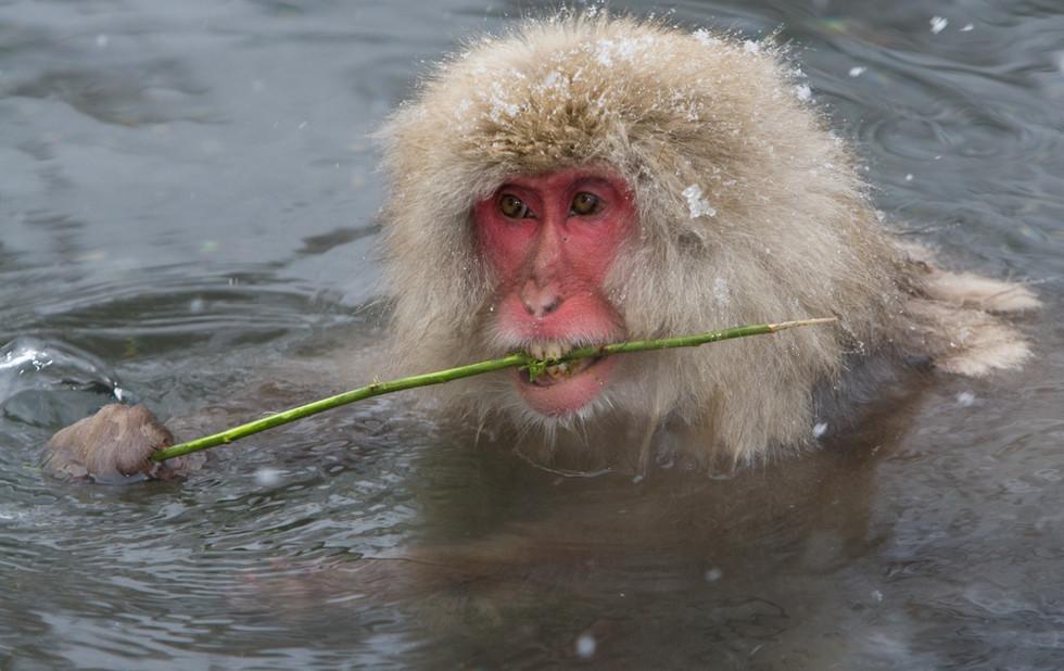 _93C1452 Monkey eating bark