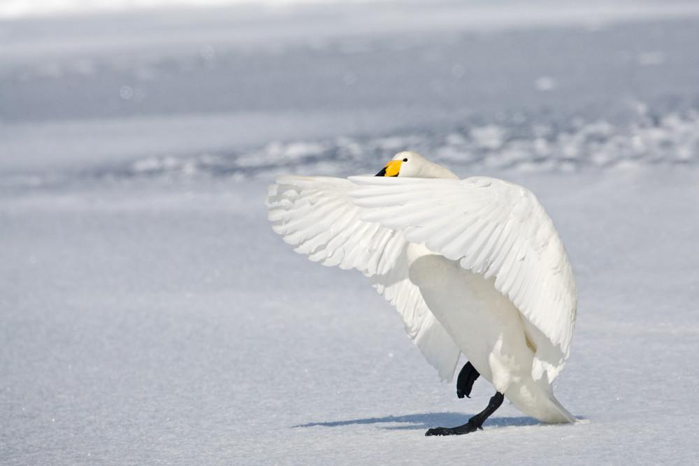 _93C5719 Swan landing