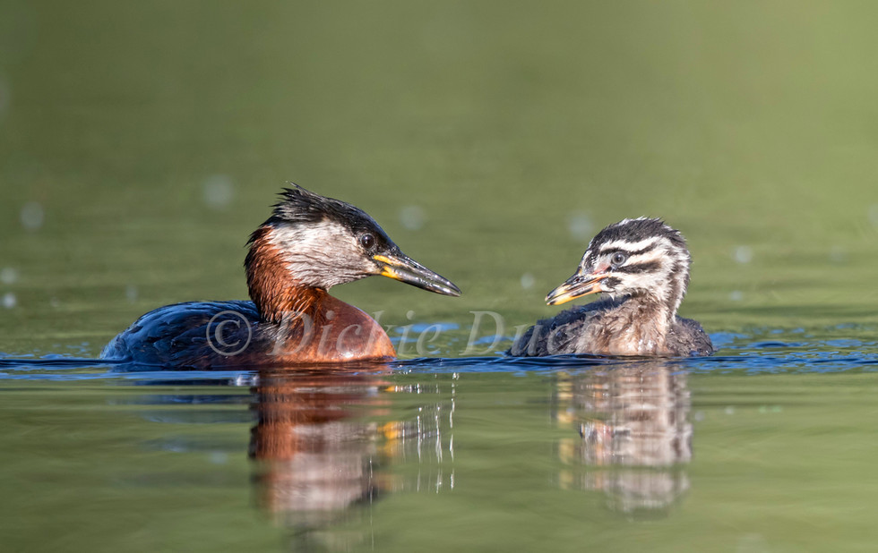 _A5A2900 Adult & chick.jpg