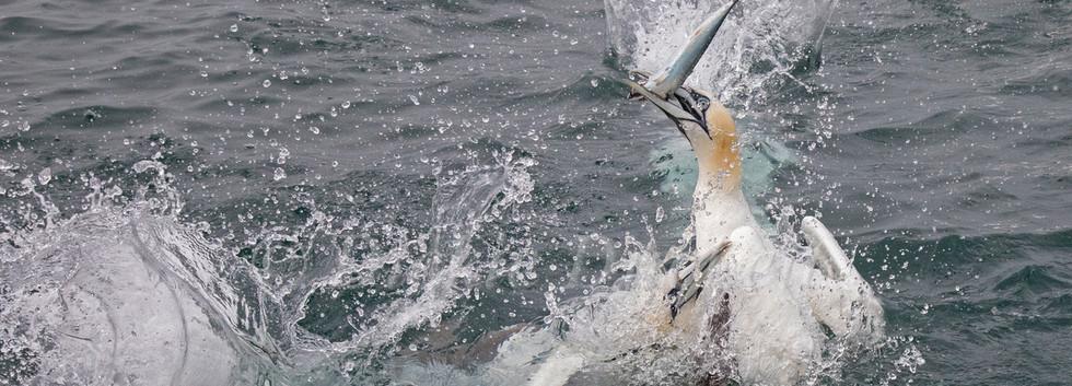 10 Gannets Bempton.jpg