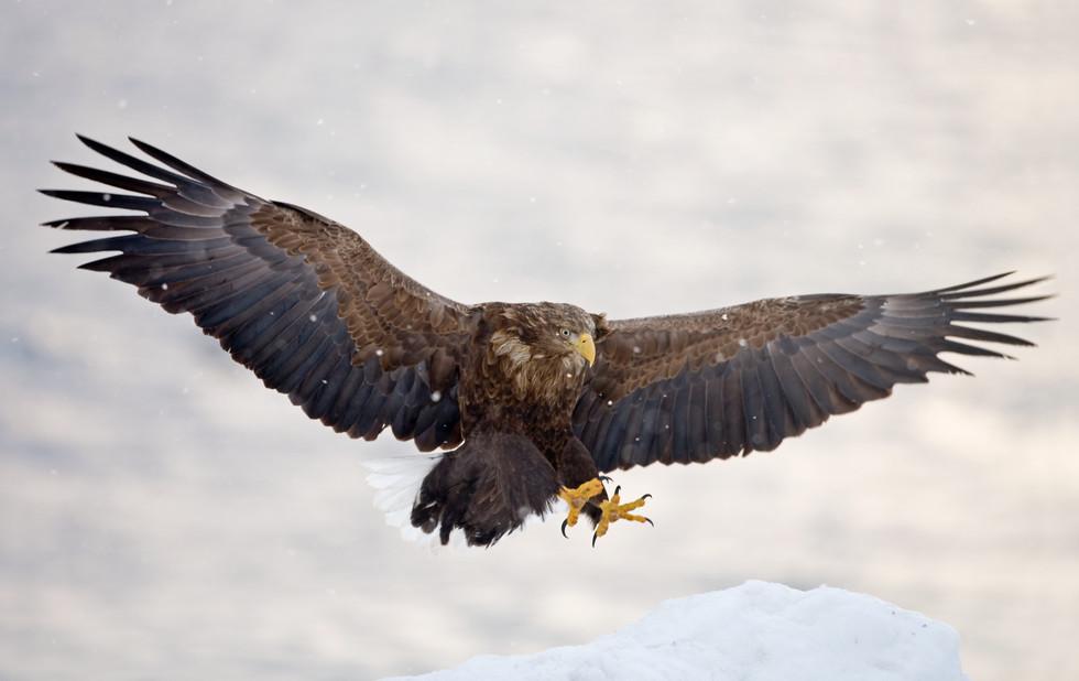 _X0A4177 Eagle landing