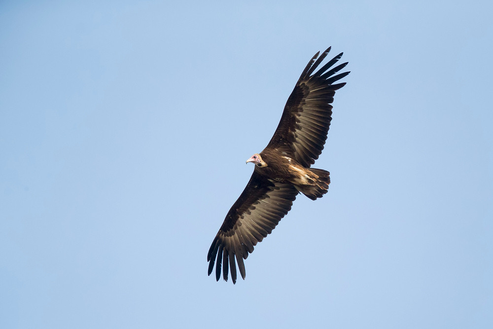 _H2P8810 Hooded Vulture.jpg