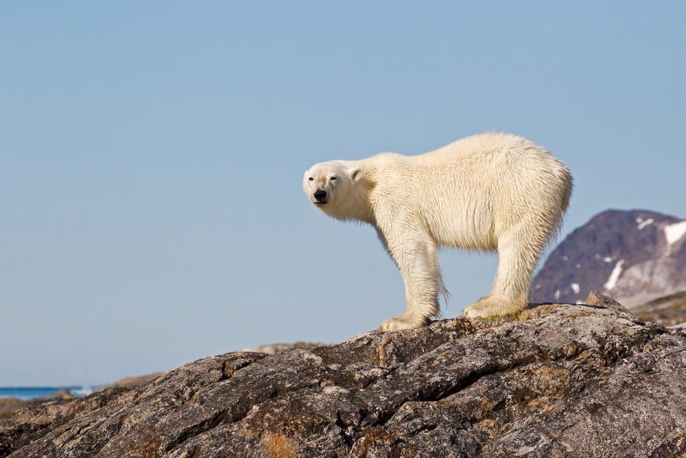 03 Polar Bear.jpg