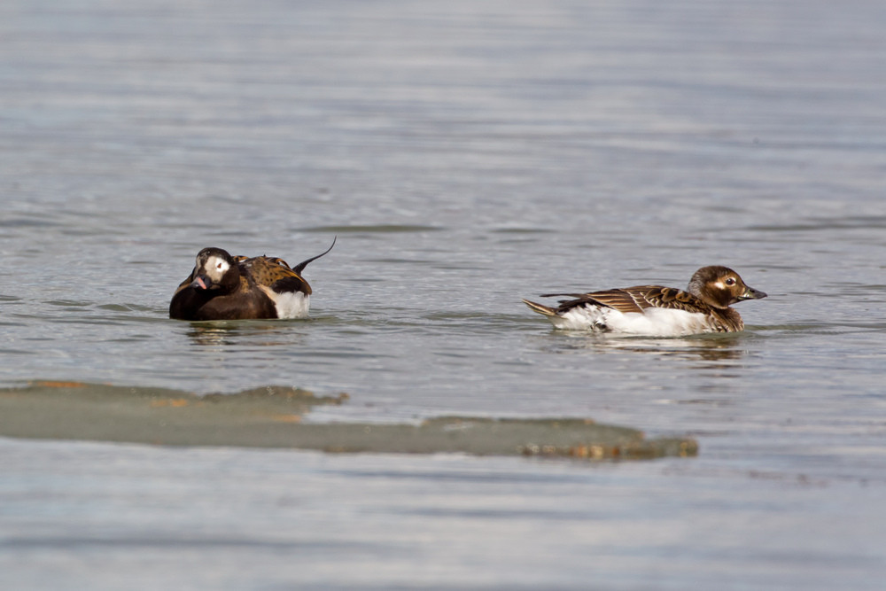 _13C4440 Long-tailed Duck pair.jpg