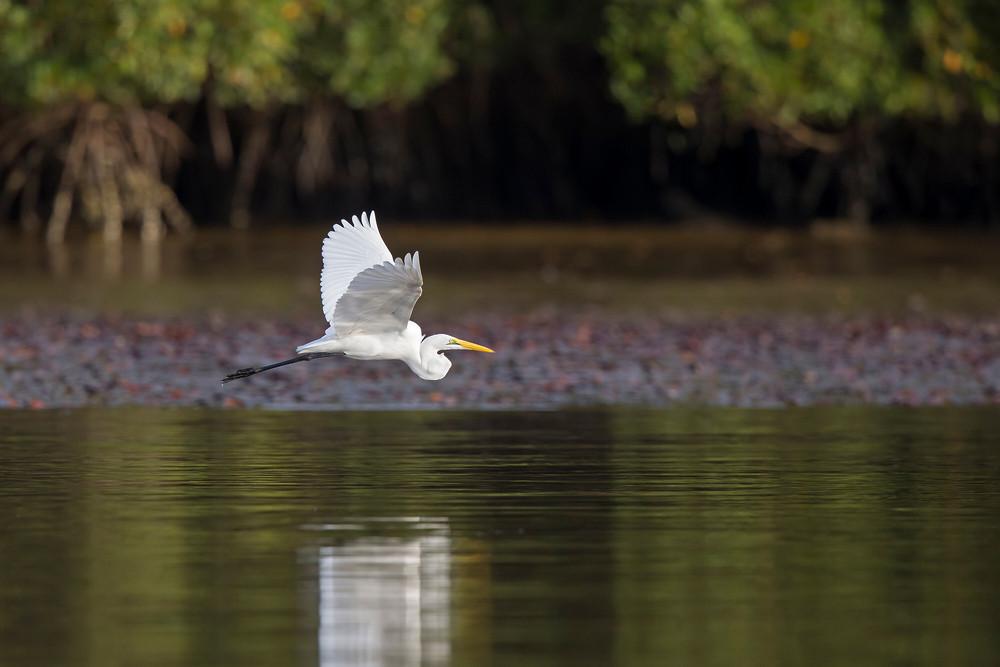 _H2P9585 Great White Egret.jpg