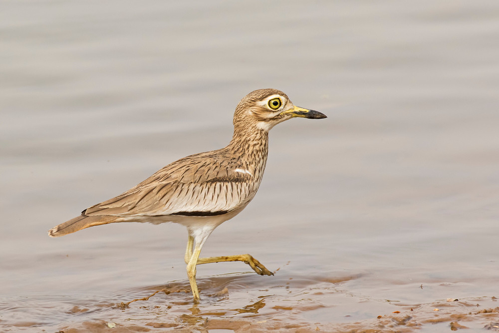 _A5A0358 Senegal Thick-knee.jpg