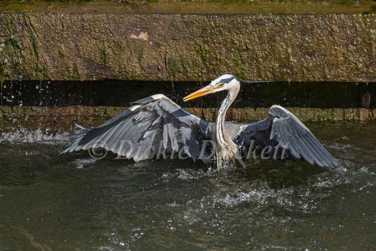 _A5A7912 Heron resurfacing.jpg