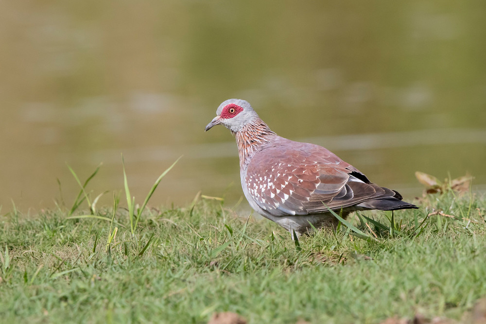 _A5A3641 Speckled Pigeon.jpg