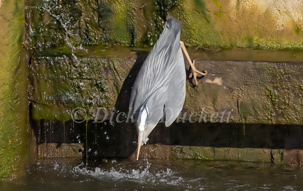 _A5A7899 Heron going for fish.jpg