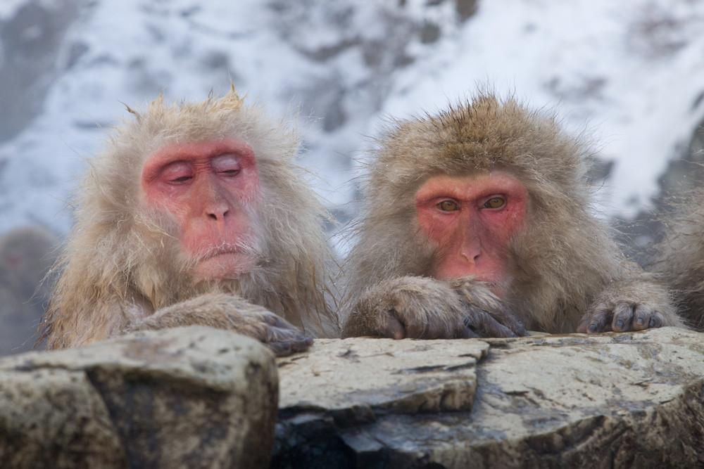 _X0A9264 Monkeys at pool side