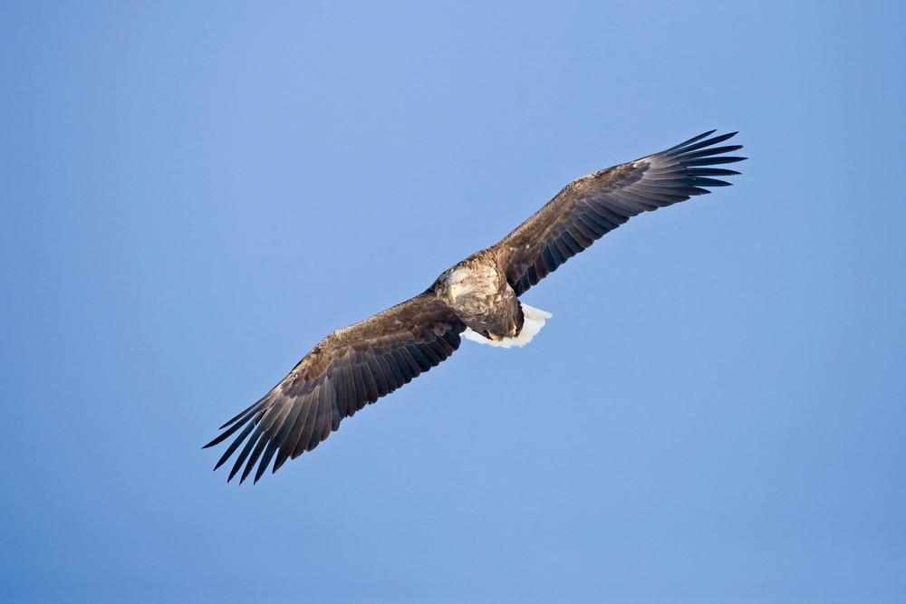 _X0A1050 Eagle in flight.jpg