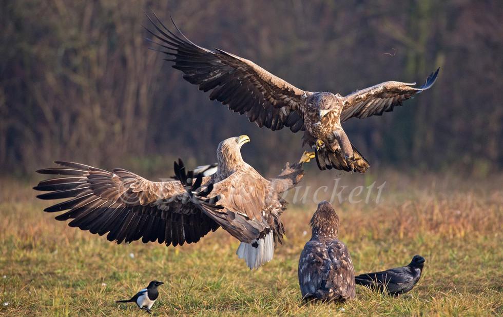 _H2P6204 Eagles fighting.jpg