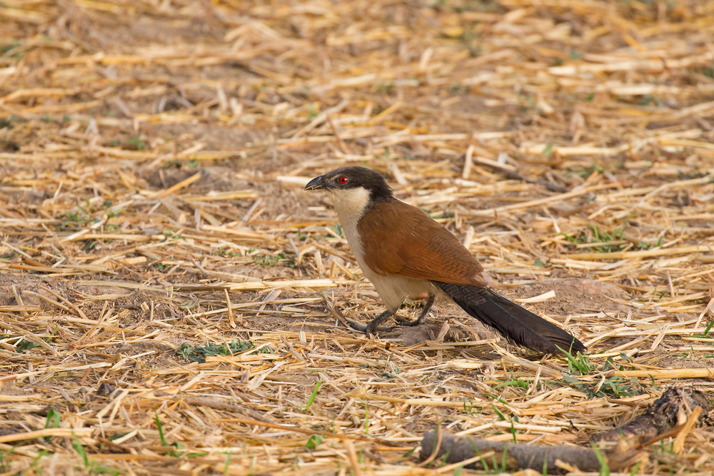 _H2P0571 Senegal Coucal.jpg